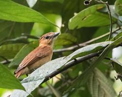 Cinnamon Becard (J.B. Churchill) Tags: birds cimb cinnamonbecard costarica flycatchers heredia laselvaotsreserve places taxonomy cr laselva