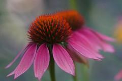 two beauties (Suzanne's stream) Tags: echinacea sonnenhut pink garden sun garten macro blühen blooming flower blumen sommer rosa