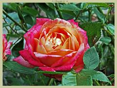 Rose (dark-dawud) Tags: rose flower leafs colours scottishborders scotland hutton wonderfulworld