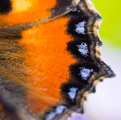 Small Tortoiseshell (Aglais urticae) wing. (piazzi1969) Tags: aglaisurticae ef100mm 7d eos canon nature wildlife bavaria insects wing flügel schmetterling kleinerfuchs smalltortoiseshell tortoiseshell butterflies butterfly lepidoptera germany elements macro makro