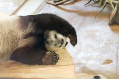 IMG_0431.jpg (wfvanvalkenburg) Tags: ouwehandsdierenpark panda familie