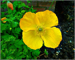 Californian Poppy ..