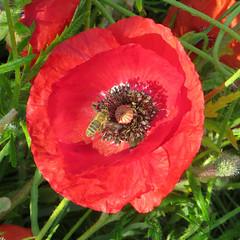 03-IMG_0160 (hemingwayfoto) Tags: blühen blüte blütenstempel blume flora gift heilpflanze kapsel klatschmohn medizin mohn mohnkapsel natur opiate opium pflanze rauschgift reif rot samen samenkapsel schwarz wild wildblume wildpflanze
