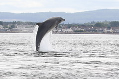 Moray Firth Dolphin (Ally.Kemp) Tags: moray firth bottlenose dolphins dolphin blackisle breaching leaping wild scottish scotland wildlife jumping free