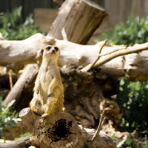 Meerkat (Madrid, Spain)