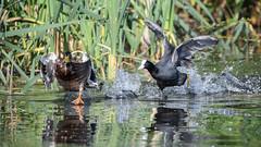 Coot chase mallard (Happy snappy nature) Tags: coot chase mallard action speed nature wildlife outdoors sunnyday shropshire