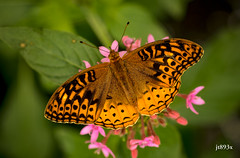 "Great Spangled Fritillary • <a style=""font-size:0.8em;"" href=""http://www.flickr.com/photos/49114357@N08/35050497932/"" target=""_blank"">View on Flickr</a>"