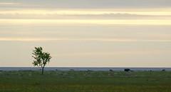Lone tree (Jaedde & Sis) Tags: lone tree åssocken öland meadow beach coast cattle deer storybookwinner gamewinner 15challengeswinner