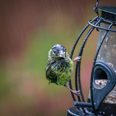 I Hate Rain! (Anthony de Schoolmeester) Tags: wildbird wildlife fujixt2 fujinon14teleconverter perch southwales plumage wet rain gardenbird fujinon100400