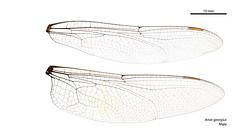 Anax georgius male wings (John Tann) Tags: taxonomy:order=odonata anax wings hindwing odonata geo:country=australia australia forewing anaxgeorgius anic australiannationalinsectcollection kimberleyemperor taxonomy:family=aeshnidae taxonomy:binomial=anaxgeorgius aeshnidae georgius dragonfly anisoptera