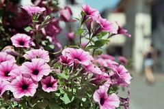 Blumen (Muse_MAI) Tags: nikon f801s blumen flower 花 konstanz constance germany deutschland film 35mm 胶卷 尼康 pink