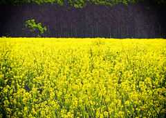 Old yellow (DarioMarulli) Tags: old yellow giallo natura nature