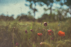 (trevis_lu) Tags: photo campagna countryside papaveri pippies nikondf nikkor50mmf14 summer estate