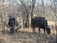 Büffel Südafrika