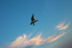 Coup de vent (Pi-F) Tags: oiseau mouette vol ciel bleu paca provence méditerranée nuage vent mouvement