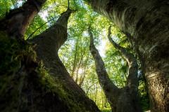 bouleau vieux (Rainer Schund) Tags: bouleau vieux alte birken nikon nature natur natureexploring naturemasterclass nikond4 three bäume wald wälder germany deutschland sonne sunshine