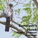 Gundlach's Hawk, Accipiter gundlachii