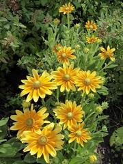 Wheaton, IL, Cantigny Park, Rudbeckia Flowers (Mary Warren (8.7+ Million Views)) Tags: wheatonil cantignypark nature flora plants summer yellow blooms blossoms flowers rudbeckia