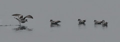 A Petrel slick on the water? (Tim Melling) Tags: oceanodroma furcata forktailed stormpetrel rest water alaska timmelling