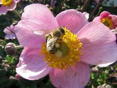 Bee on Anemone, Explored on June 13.th.2017 (Hannelore_B) Tags: anemone blume flower biene macromondays macromondayspoisonous bee macro