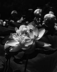 WaterLily_SAF6397-3 (sara97) Tags: aquaticplant floweringplant missouri nature outdoors photobysaraannefinke saintlouis towergerovepark urbanpark waterlily monochrome bw blackandwhite blackwhite flower