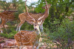 Deers, Zone 4, Ranthambhore National Park, India (Immature Photography LLP) Tags: indianwildlife india nationalpark ranthambhore wildlifephotography wildlife animal deer