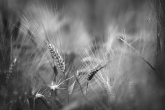 Monochrome Barley (aveyardphotography) Tags: mono monochrome black white mood barley crop seed ears nature farming soft shallow focus