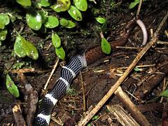 Many-banded krait eating skink (wattanumpty) Tags: snake taiwan manybandedkrait bungarusmulticinctus snakeeating skink