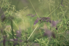 Lawnscape III (jellyfire) Tags: canon5dmkii canonef100mmf28l landscape landscapephotography macro meadow sony sonya7r bokeh canon daisy flora grass green lawn oxeyedaisies summer wildflower