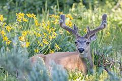 Mule Deer Buck (Odocoileus hemionus) - Grand Teton National Park (Jim Frazee) Tags: muledeer buck odocoileushemionus grandtetonnationalpark