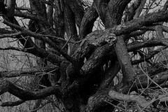 LANGUAGE OV THE WOODS (cobalt_black) Tags: oldtrees form knots structure bnw