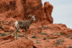 There's No Place Like Home (craig goettsch) Tags: desertbighornsheep valleyoffirestatepark ewe female animal mammal nevada wildlife nature