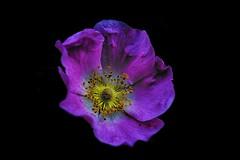 Fragrance (keith_fannon) Tags: 100mm black blackbackgrund canon color colour detail flores lingome nature outdoor rose summer sweden väröbacka wildrose