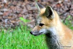 DSC_0757 (rachidH) Tags: fox renard vulpes foxcub renardeau redfox renardroux vulpesvulpes backyard frontyard wildlife sparta newjersey nj rachidh nature