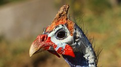 Helmeted Guineafowl (7) (Richard Collier - Wildlife and Travel Photography) Tags: wildlife naturalhistory africa southernafrica namibia birds birdsafricabirds helmetedguineafowl ngc naturethroughthelens