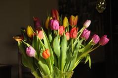 Tulpenstrauß (Chironius) Tags: privat blüte blossom flower fleur flor fiore blüten цветок цветение liliales lilienartige liliengewächse liliaceae lilioideae tulpen tulipa rot stapelholm bergenhusen