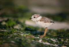 The Sweetest Thing (Kathy Macpherson Baca) Tags: piper fragile tiny young sand wings animal animals bird world birds earth aves fly pipingplover feathers planet wildlife flying nest chicks beach ocean plover shore shorebirds endangered nature bay inlet dunes baby