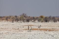 Zebra 4095 (Ursula in Aus) Tags: africa equuszebra etosha etoshanationalpark namibia mountainzebra zebra