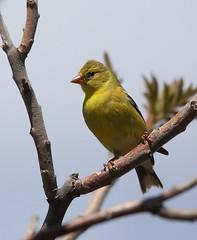 IMG_3765 Chardonneret jaune, Roberval (joro5072) Tags: animal nature oiseau bird chardonneret goldfinch