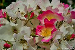 Many roses (GerWi) Tags: rosen busch roses red white sonya7 makro macro pflanzen
