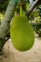 Jack Fruit (Andrew Parmanand) Tags: vietnam asia seasia hochiminh hochiminhcity saigon mekong mekongdelta jackfruit