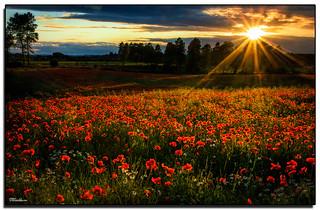 Sunkissed Poppies  (Explored)