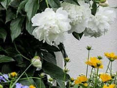 ** Les pivoines de Maria...** (Impatience_1) Tags: pivoine peony fleur flower m impatience saveearth supershot coth coth5 sunrays5 fantasticnature alittlebeauty abigfave fabuleuse