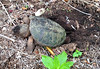COMMON SNAPPING TURTLE (Chelydra serpentina), seen here, laying eggs, in Staten Island, New York, USA. June, 2017 (Tom Turner - NYC) Tags: chelydraserpentina snappingturtle commonsnappingturtle turtle reptile female femalesnappingturtle layingeggs egglayhing nest mulch nature wildlife tomturner statenisland newyork apple nyc usa unitedstates bigapple shell southave