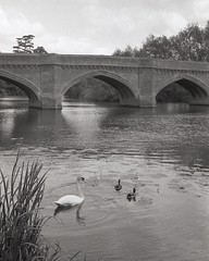 Thames calm (OhDark30) Tags: olympus 35rc 35 rc film 35mm monochrome bw blackandwhite bwfp fomapan 200 rodinal river thames path cliftonhampden bridge water trees swan ducks reflection reeds lily pads