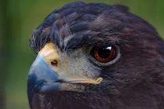 Kite Eye - 鳶の眼 (hixar) Tags: bird eye 鳥 トンビ とんび 鳶 上野動物園 uenozoo zoo japan 日本 cool かっこいい 目 瞳 猛禽類 animal 動物