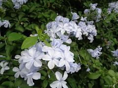 Like a river. (Paula Luckhurst) Tags: plumbago flowers plants nature leaves outdoor garden