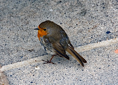 Dave the Robin (Skidmarks_1) Tags: robin birds wildbirds laugharne dylanthomas boathouse cafe wales southwales