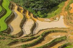_Y2U0449.0617.TL155.Dền Sáng.Bát Xát.Lào Cai (hoanglongphoto) Tags: asia asian vietnam northvietnam northwestvietnam landscape scenery vietnamlandscape vietnamscenery vietnamscene terraces terracedfields terracedfieldsatvietnam transplantingseason sowingseeds people landscapewithpeople valley canyon hdr flanksmountain canon canoneos1dx canonef500mmf4lisiiusmlens tâybắc làocai bátxát dềnsáng tl155 phongcảnh ruộngbậcthang mùacấy đổnước ruộngbậcthangbátxát phongcảnhcóngười người thunglũng hẻmnúi sườnnúi light sunlight sunny afternoon sunnyafternoon sunnyweather nắng buổichiều nắngchiều bátxátmùacấy curve abstract