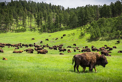 Bison herd at Custer Park (gbenedicto) Tags: animals bison spring buffalo nature landscape custer park south dakota wild